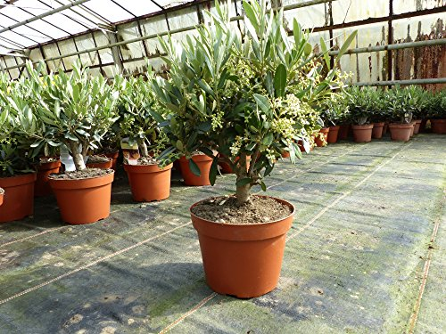 Olive Bonsai Mini Olivenbaum,Olea Europaea 30 - 40 cm hoch, winterhart