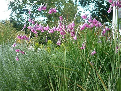 ScoutSeed Fee Blumensamen Dierama Pulcherrimum x 10 Samen Angels Angelruten