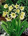 Lemo Gartendesign Duftende Ismene gelb (Ismene festalis `Sulphur Queen`, 3 Stück) von Lemo Gartendesign bei Du und dein Garten