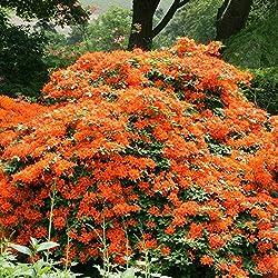 Gartenazalee orange - 1 strauch