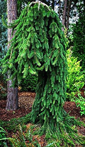 50 PC/Beutel klettern Blue Spruce Samen Picea Baum Topf Bonsai Hof Garten Bonsai Pflanze Kiefer Samen für den Hausgarten 1