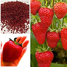 Aiden Gardens Giant Red Strawberry Seeds, Garden Fruit Plant, Rare And Delicious 50 seeds