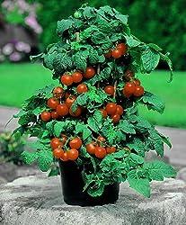 Dominik Blumen Und Pflanzen, Balkontomate Primabell®, 1 Pflanze