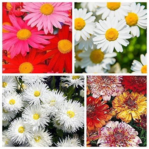 Chrysantheme - Samen von 4 Sorten -