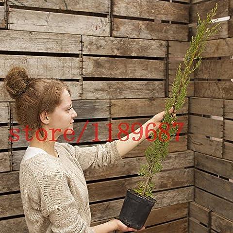 1bag = 100 pezzi semi di albero Cipresso semi ITALIANA CYPRESS (Cupressus sempervirens) semi di albero