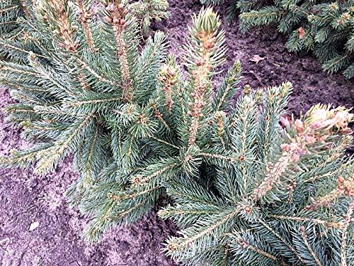 1 Stk. Blaufichte – Blautanne – (Picea pungens glauca)- Containerware 30-40 cm