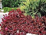 Pinkdose 500 Seeds: sedum