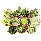 11 Suculentas naturales, raras y coleccionables, sin espinas, una diferente de la otra, 5,5 cm. Plants naturales