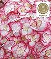"""BALDUR-Garten Hydrangea """"Miss Saori®"""" Hortensien Hydrangea macrophylla, 1 Pflanze von Baldur-Garten - Du und dein Garten"""