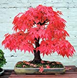 #2: Japanese Red Maple Bonsai Tree Seeds, Very Beautiful Garden / Indoor / Balcony Tree - BEE Garden Organic