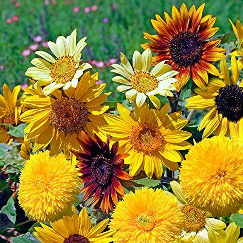 AIMADO Samen-50 Pcs Sonnenblumensamen Azteca-Mischung Blumensamen Bunte Mischung niedriger Sonnenblumen,Blumen Saatgut Für Töpfe, Beet und Vase