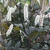 Cimicifuga ramosa 'Brunette' - Silberkerze, September-Silberkerze, im 1,0 Liter Topf, weiß blühend
