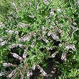 Grüne Minze, Spearmint - Mentha spicata (100 Samen)