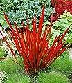 """BALDUR-Garten Winterhart Japanisches Blutgras """"Red Baron"""" im 17 cm Topf 1 Pflanze Imperata cylindica von Baldur-Garten - Du und dein Garten"""