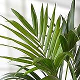 Howea forsteriana Palm 130cm - 1 plante