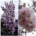 Grüner Garten Shop Japanische Säulenzierkirsche, Kirschblüte weiß-rosa blühend, ca. 120-150 cm hoch, 7,5 Liter Topf von Grüner Garten Shop - Du und dein Garten