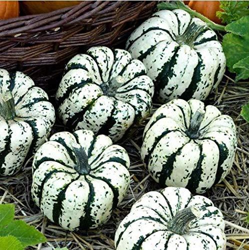 Qulista Samenhaus - 20pcs Zierkürbis Sweet Dumpling Riesenkürbis Bio-Samen ertragreich aromatisch Saatgut Gemüse Samen winterhart als Halloween-Dekoration geeignet
