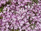 Rosablühendes Teppich-Schleierkraut Gypsophila repens 'Rosea' 100 Samen