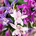 Gärtner Pötschke Japan-Orchideen-Mischung von Gärtner Pötschke bei Du und dein Garten