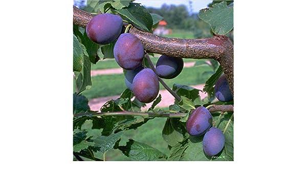 Dünger Mirabelle von Nancy 120-150 cm 2er Set Pflaumenbaum Hauszwetsche 1 P