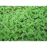 Royal Paradise Garden Azolla Floating plant - Azolla caroliniana For Cultivation & Feeding 10+ Live Plants