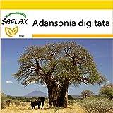 SAFLAX - Anzucht Set - Afrikanischer Affenbrotbaum - 6 Samen - Adansonia digitata