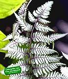 BALDUR-Garten Winterharter Schmuck-Farn 'Silver Falls®', 1 Pflanze Athyrium