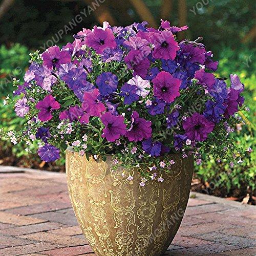 200 pcs / sac Petunia Graines Bonsaï Graines de fleurs Court Taille Jardin Fleurs Graines d'intérieur ou à l'extérieur Livraison gratuite Plante en pot Plum
