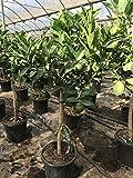 Blumen-Senf Citrus sinensis 'Valencia Late'  150-160 cm Topf 30 cm Ø - Orange | Orangenbaum