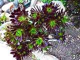 Portal Cool Las Plantas de alcachofa S, una Planta Lote 2Beaux, Ramos con un montón de Rosas