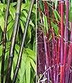 BALDUR-Garten Winterharte Bambus-Kollektion, 2 Pflanzen Schwarzer Bambus Black Bamboo und Roter Bambus Asian Wonder von Baldur-Garten - Du und dein Garten
