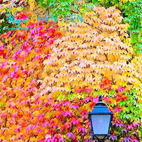 Shopmeeko 100 Teile/paket Bunte Boston Ivy pflanzen Von Japanischen Kletterpflanze Für Diy Home & amp; Gartenpflanzen im Freien Bonsai Freies Verschiffen: Rot