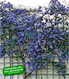 BALDUR-Garten Immergrüne Säckelblume Ceanothus 'Trewithen Blue' winterhart, 1 Pflanze Kletterpflanze