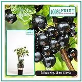 Blumen-Senf Schwarze Johannisbeere - Ribes nigrum - Ben Nevis 55 cm - großfrüchtig, robust