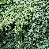 Ivy Hedera helix/Lierre sauvage - 5 arbrisseaux