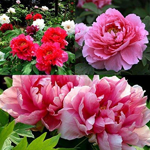 diaped 8pcs/Sac Graines Semences de Fleur Pivoine, Graine de Fleurs Pivoine Coral Parfumée Seed Bonsaï Plante en Pot Décoration d'Intérieu Jardin