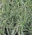 Pfahlrohr Variegata - Arundo donax von Baumschule auf Du und dein Garten