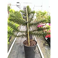 Monkey Puzzle Tree in a 19cm Pot. 50cm tall approximately