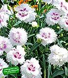 "BALDUR-Garten Bodendecker-Nelke Diantica""White & Eye"""