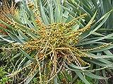 Dracaena surculosa Pflanze 10cm Drachenbaum sehr selten Rarität