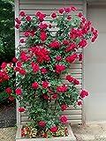 Red Climbing Rose Flower Seeds by E Garden