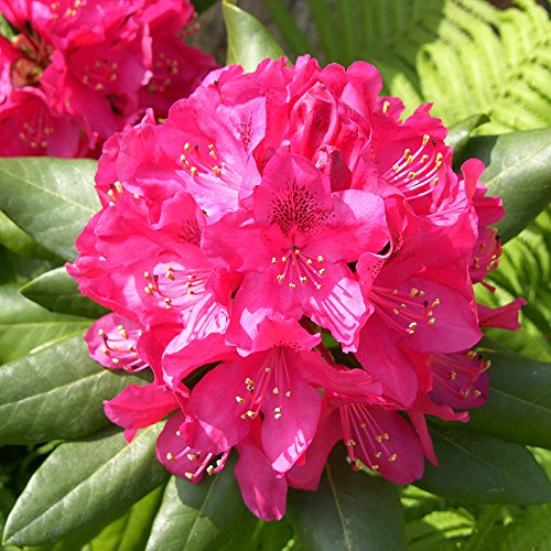 pink-rhododendron-bush-germania-flowering-shrub-in-a-10l-pot