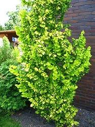 Goldulme Ulmus carpinifolia Wredei 60-80 cm hoch im 3 Liter Pflanzcontainer