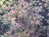 Roter Fächerahorn 'Bloodgood' Acer palmatum Zier Ahorn Topf gewachsen