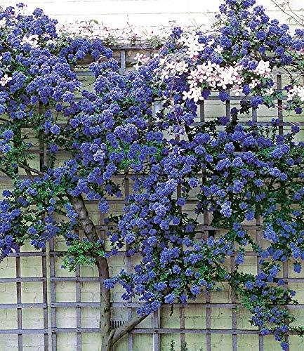 BALDUR-Garten Immergrüne Säckelblume Ceanothus \'Trewithen Blue\' winterhart, 1 Pflanze Kletterpflanze
