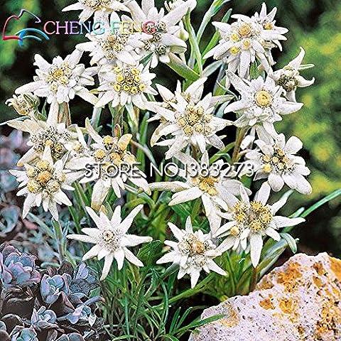Hermosas Edelweiss Semillas 20pcs / bag Leontopodium Alpinum flor Bonsai Bonsai Semillas PlantsVery Fácil de plantas Semillas de flores perennes
