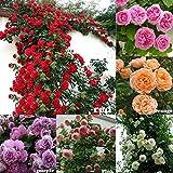 Semi di Rosa - Semi di Rosa rampicante, Rosa Multiflora, Decorazione domestica perenne fiore profumato, 100 PZ (Color : Red)