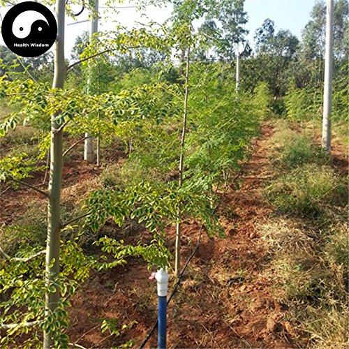 Comprare Moringa albero semi 160pcs pianta Moringa oleifera albero Per Bacchetta Lamu