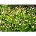 Garten Orchidee Cypripedium Calceolus ☆ Freiland Frauenschuh Orchideen bereit zu pflanzen von Phytesia - Du und dein Garten