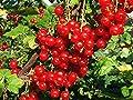 Johannisbeere 10 Samen -Winterhart- -Ribes rubrum- von Samenchilishop auf Du und dein Garten